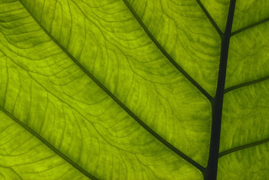 Extreme Close-Up Of Green Leaf, Main Stem With Veins Running Through Wall Mural