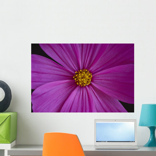 California, Close-Up Of Single Pink Aster, Yellow Center Wall Mural
