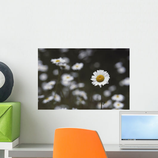 Oxeye Daisy [Chrysanthemum Leucanthemum] Naturalized Temperate Wall Mural