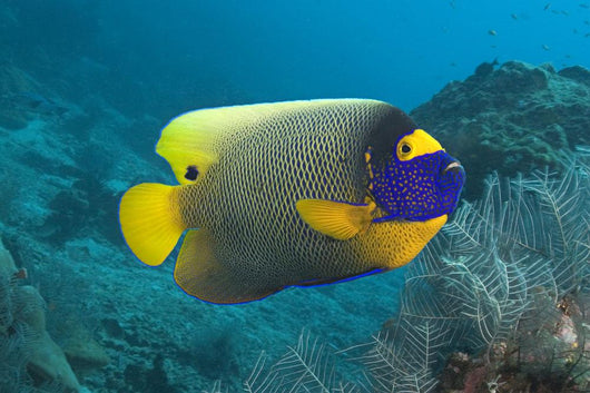 Malaysia, Blue-Face Angelfish Near Ocean Floor Wall Mural