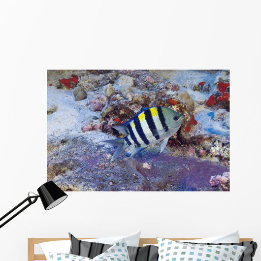 Hawaii, Male Indo-Pacific Sergeant Major Guarding Purple Egg Mass Wall Mural