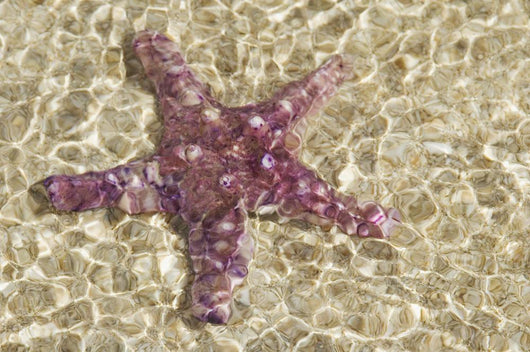 Close-Up Of Purple Starfish Seen Through Crystal Clear Rippling Water Wall Mural
