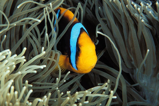 Mariana Islands, Saipan, Orange-Fin Anemone Fish In Anemone Near Coral Wall Mural