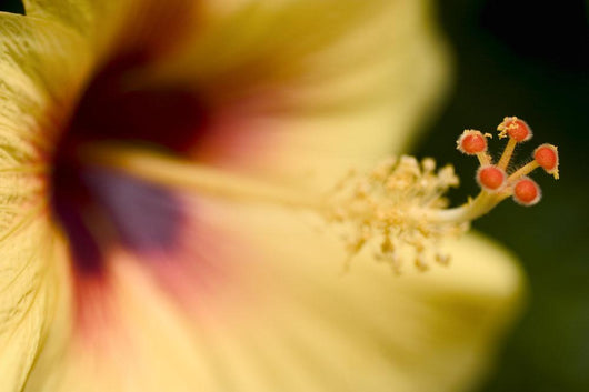 Extreme Close-Up Of Yellow And Red Hibiscus Flower With Stamen Wall Mural