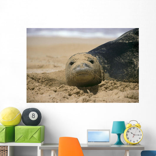 Hawaiian Monk Seal On Beach With Sand On Face A96G Wall Mural