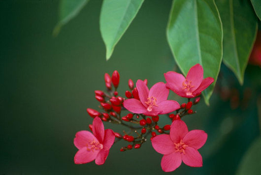 Close-Up Of Deep Dark Pink Blossoms On Tree, Leaves A23F Wall Mural