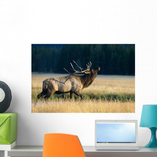 Bull Bugling In Rut Side Full Length View A52F Wall Mural
