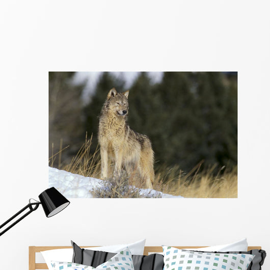 Montana, Gray Wolf Full Length View Standing In Snow A52D Wall Mural
