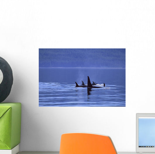 Alaska, Icy Strait, Pod Of Killer Whales Inside Passage Surface A95H Wall Mural