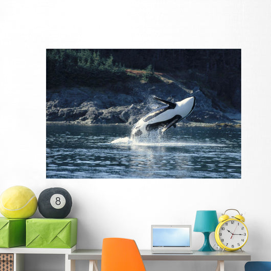 Alaska, Inside Passage, Orca Breaches Full Length Underside View A95C Wall Mural
