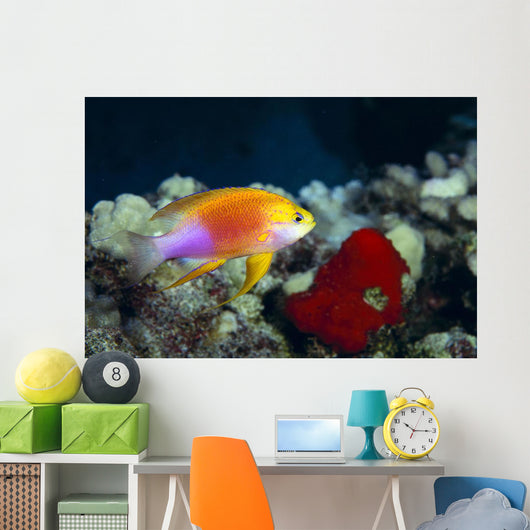Hawaii, Fairy Anthias [M] A83C Wall Mural