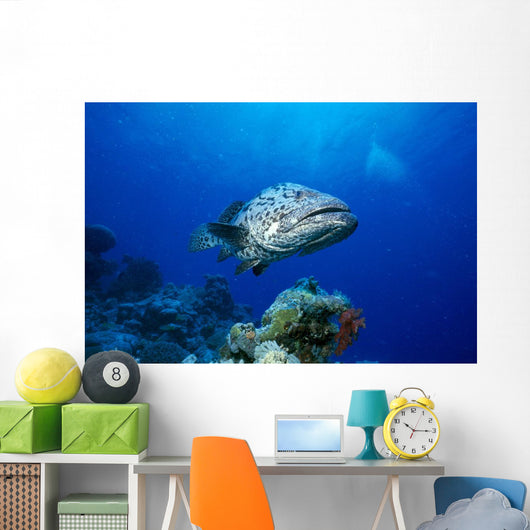 Australia, Great Barrier Reef, Potato Cod B1946 Wall Mural