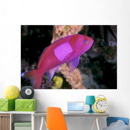 Malaysia, Male Square Spot Fairy Basslet B1949 Wall Mural