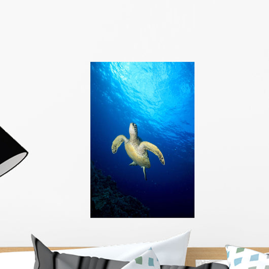 Hawaii, Green Sea Turtle Swims Toward Surface B1918 Wall Mural