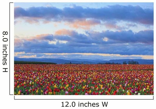 Sunrise Over A Tulip Field At Wooden Shoe Tulip Farm Wall Mural