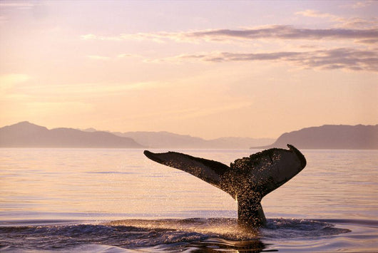 Alaska, Frederick Sound, Humpback Whale Fluke At Sunset B1988 Wall Mural