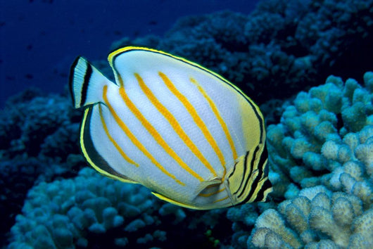 Hawaii, Ornate Butterflyfish B1941 Wall Mural