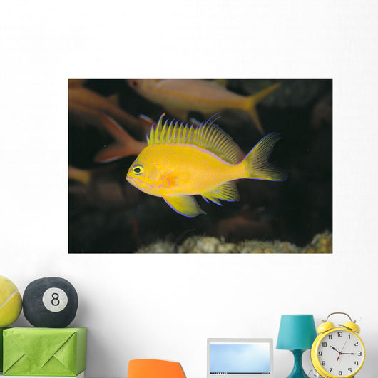 Hawaii, Deep Water Anthais [Pseudanthias Fuscipinnis] B1920 Wall Mural