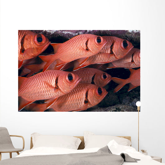 Hawaii, Shoulderbar Soldierfish Close-Up Group B1919 Wall Mural