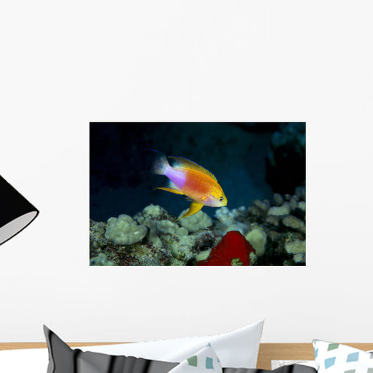 Hawaii, Fairy Anthias Male Over Coral B1912 Wall Mural