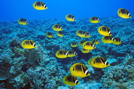 Schooling Raccoon Butterflyfish Over Reef C1978 Wall Mural