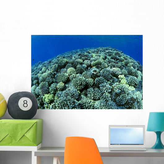 Hawaii, Cauliflower Coral With Surface Reflections C1939 Wall Mural