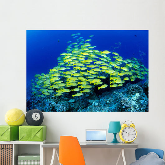 Hawaii, Schooling Bluestripe Snapper Coral Reef C1929 Wall Mural