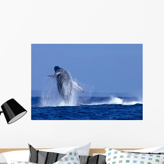 Hawaii, Maui, Humpback Whale Breaching C2024 Wall Mural