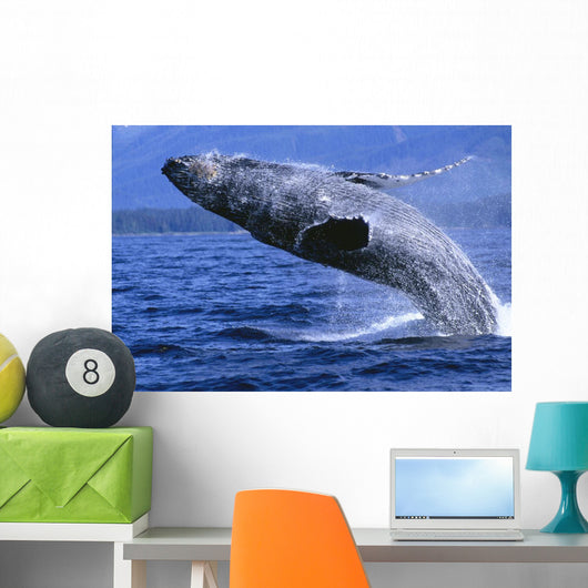 Alaska, Inside Passage, Humpback Whale, Full Breach Close-Up, C2037 Wall Mural