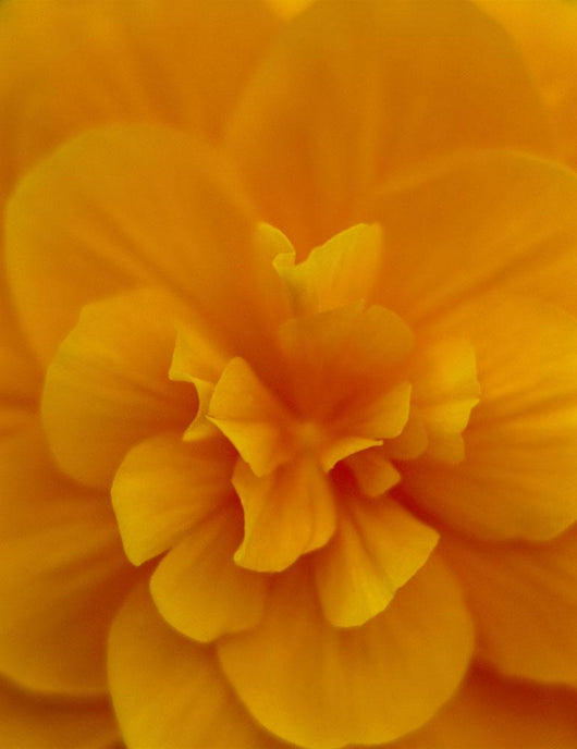 Extreme Close-Up Of Orange Begonia Blossom, Soft Focus C1660 Wall Mural