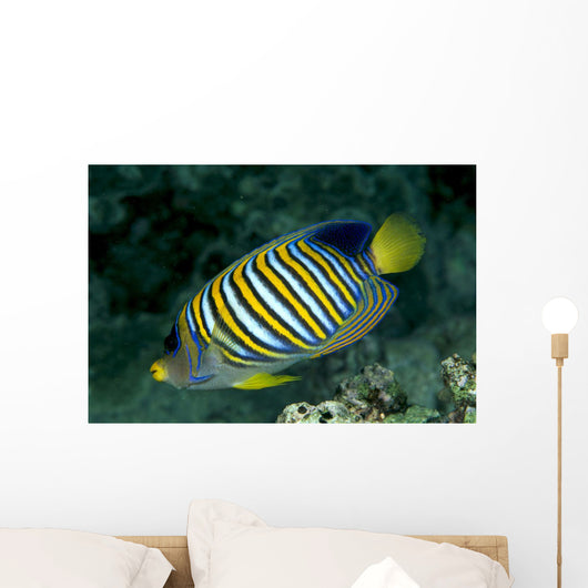 Fiji, Regal Angelfish Close-Up Side View Wall Mural