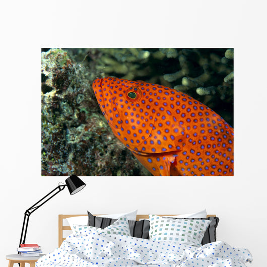 Fiji, Close-Up Of Coral Grouper Head Wall Mural
