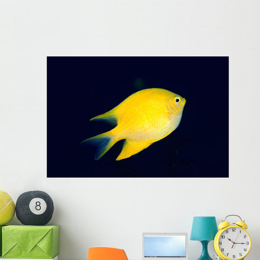 Fiji, Golden Damselfish Swimming Upward Wall Mural