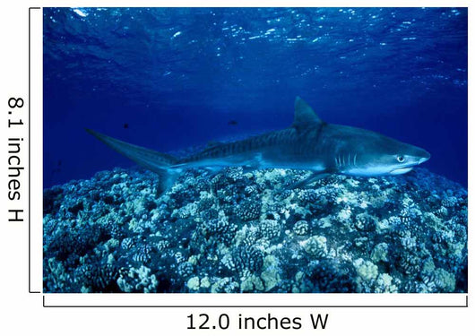 Hawaii, Close-Up Of Tiger Shark Shallow Reef Wall Mural