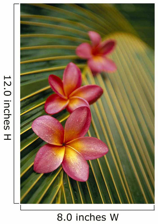 Close-Up Three Pink Plumeria Flowers Wall Mural