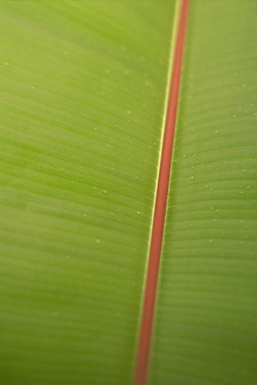 Extreme Close-Up Detail Of Banana Leaf Wall Mural