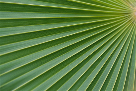Hawaii, Extreme Close-Up Detail Of Fan Palm, Texture Vein Green Yellow Wall Mural