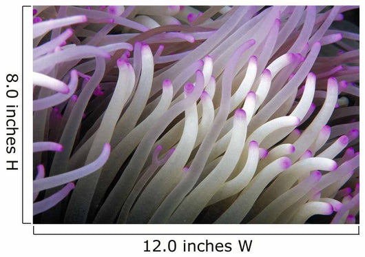 Micronesia, Close-Up Detail Anemone Tentacles White Purple Tips Wall Mural