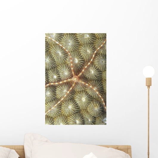 Micronesia, Close-Up Brittle Star On Hard Coral Wall Mural