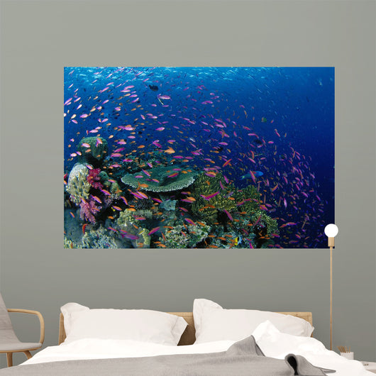 Fiji, Hard Coral Reef Scene With School Lyretail Anthias Surface Wall Mural