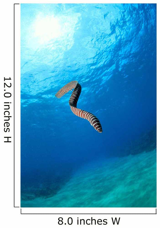 Hawaii, Zebra Moral Eel Swims Midwater With Sunburst Wall Mural