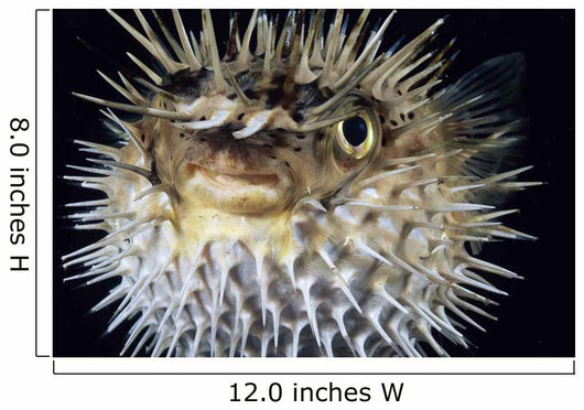 Hawaii, Spiny Puffer Close-Up With Mouth Open, Black Background Wall Mural