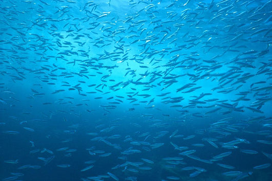 School Of Small Silver Fish, Hundreds In Clear Blue Water Near Surface Wall Mural