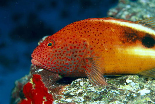 Hawaii, Close-Up Side View Of Blackside Hawkfish, Resting On Reef Wall Mural