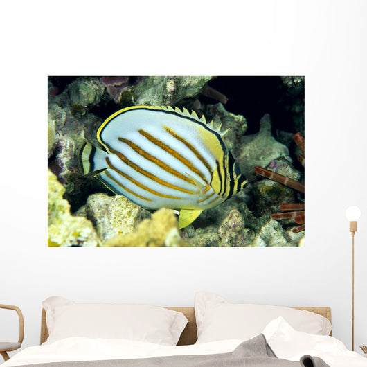 Hawaii, Side Back View Of Orange Striped Ornate Butterflyfish Wall Mural