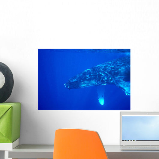 Hawaii, Close-Up Side View Of Humpback Whale Underwater Wall Mural
