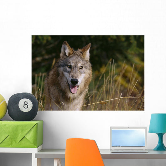 Montana, Flathead National Forest, Gray Wolf Looks Into Camera Wall Mural