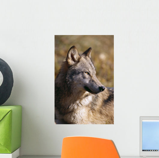 Montana, Portrait Shot, Side View Of Gray Wolf In Field Of Dry Grass Wall Mural