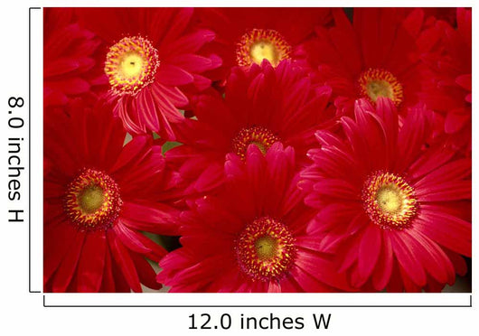 Close-Up Of Bunch, Red Daisies With Yellow Centers Wall Mural
