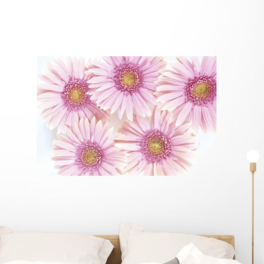 Close-Up Of Pink Daisies Set Together On White Background Studio Shot Wall Mural